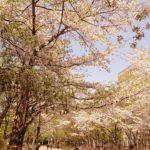 中島公園の桜を見に行った